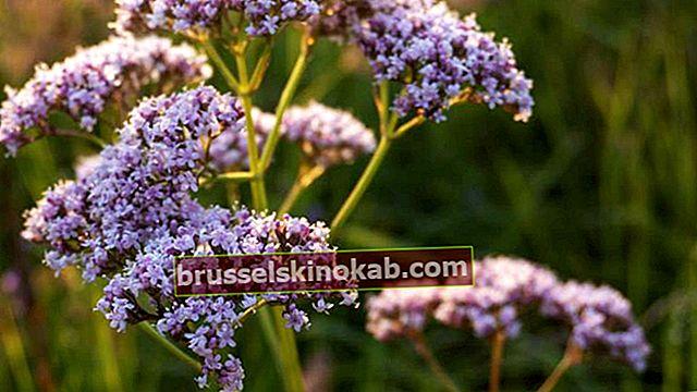 Valerian: planten som induserer søvn