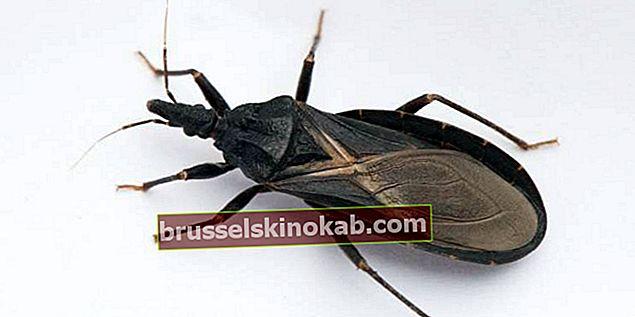 Chagas sjukdom: känner till symtomen och vet hur man kan förebygga