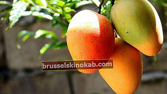 Oppdag helsemessige fordeler av mango