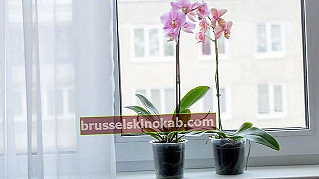 Hur man tar hand om orkidéer: kolla in tips för odling