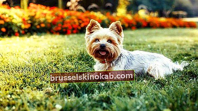 פתרונות תוצרת בית להשאיר את שיער הכלב בוהק!