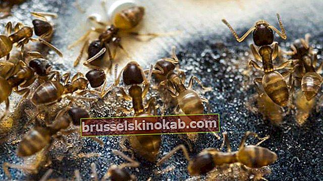 Hur man dödar myror utan att ringa skadedjursbekämpning